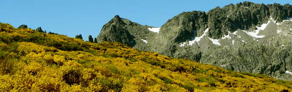 Cada año disfrutamos de la floración del piorno a finales de primavera